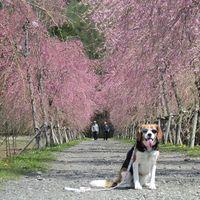 「高原の公園でお花が綺麗な富士山絶景スポットで散歩」の画像